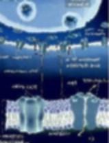 la barrière hémato-encéphalique contrôle l'arrivée des molécules dans le cerveau